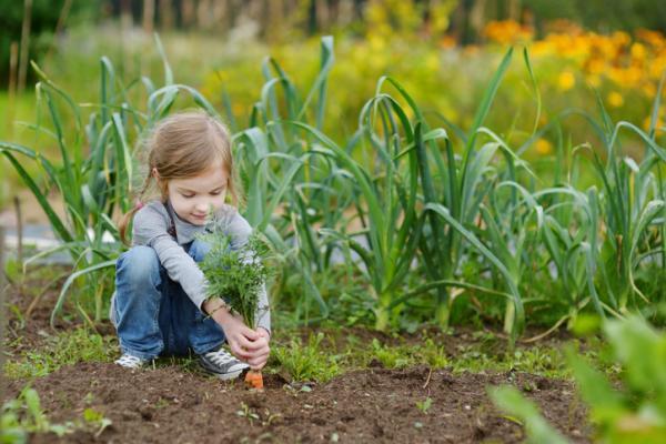 Sembrar zanahorias: cómo y cuándo hacerlo - Cuándo se recogen las zanahorias