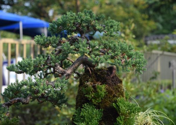 Araucarias o árboles coníferos: tipos, nombres y características - Araucarias, coníferas o árboles coníferos en jardinería - cuidados