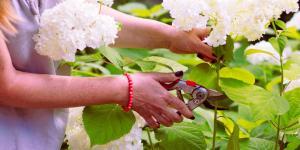 Cómo reproducir hortensias