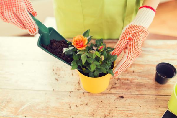 Cómo cuidar un rosal en maceta - Sustrato para las rosas en maceta