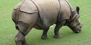 Por qué está el rinoceronte de Java en peligro de extinción