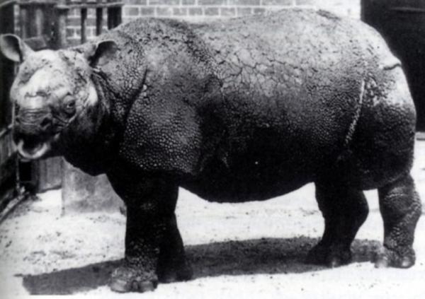 Por qué está el rinoceronte de Java en peligro de extinción - Por qué está el rinoceronte de Java en peligro de extinción - las causas