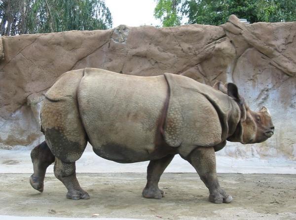 Por qué está el rinoceronte de Java en peligro de extinción - Rinoceronte de Java: características