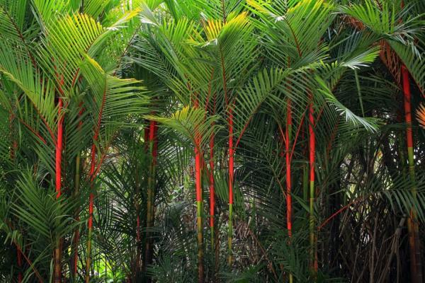 Tipos de palmeras - Cyrtostachys renda
