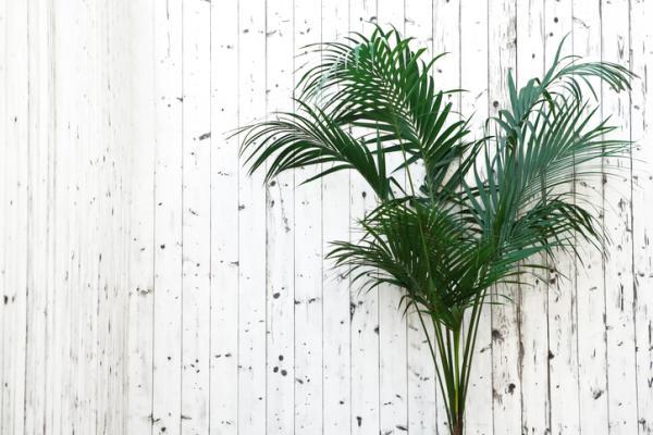 Tipos de palmeras - Howea forsteriana