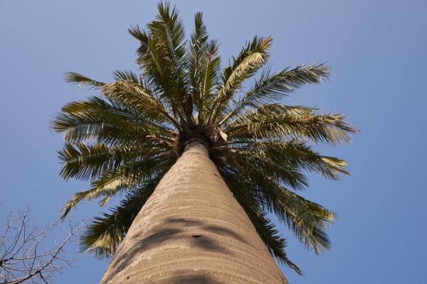 Tipos de palmeras - Jubaea chilensis