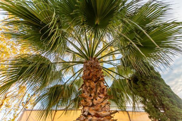 Tipos de palmeras - Livistona chinensis