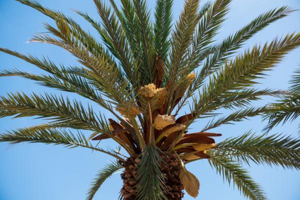 Tipos de palmeras - Phoenix canariensis