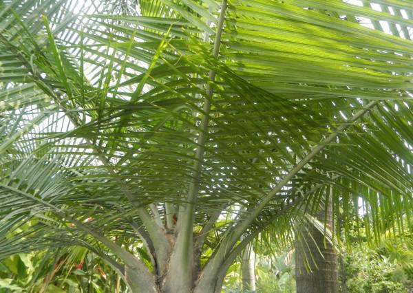 Tipos de palmeras - Ravenea rivularis