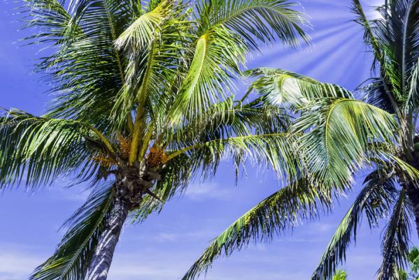 Tipos de palmeras - Roystonea regia