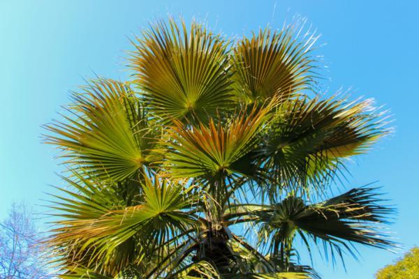 Tipos de palmeras - Trachycarpus fortunei