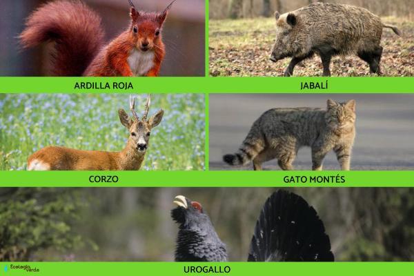 Qué animales hay en la Selva Negra - Qué animales habitan en la Selva Negra