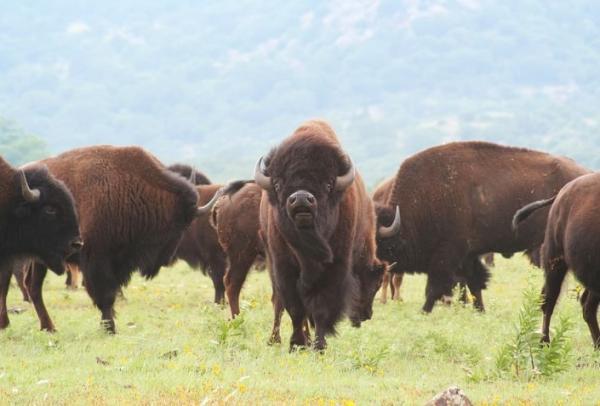 Animales de Estados Unidos - Bisonte americano o búfalo