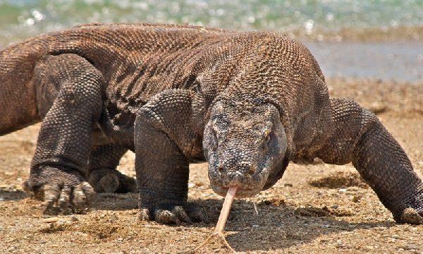Por qué el dragón de Komodo está en peligro de extinción