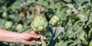 Temporada de alcachofas: cuándo es y cómo se cosechan