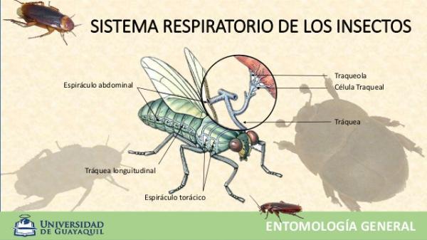 Por dónde y cómo respiran los insectos - Cómo respiran los insectos