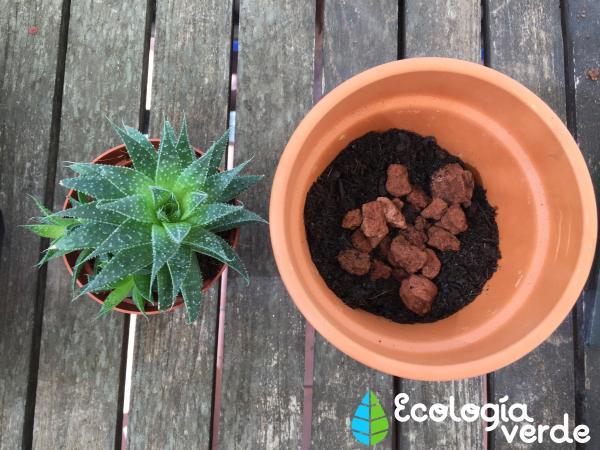 Trasplantar una planta: cuándo y cómo hacerlo - Cómo trasplantar una planta paso a paso