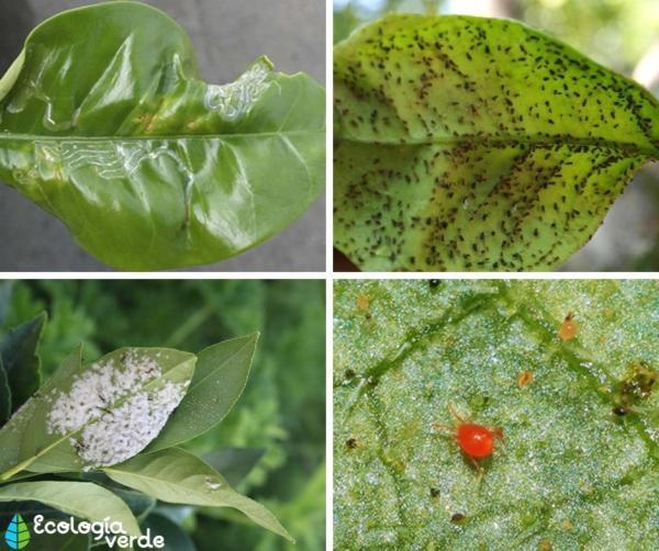 Insecticidas caseros para limoneros - Cuáles son las plagas en limoneros