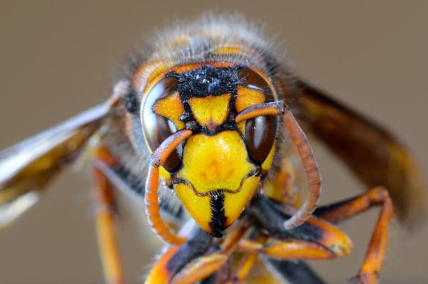 Diferencia entre abeja, avispa y abejorro - Diferencia en la picadura de la abeja, la avispa y el abejorro