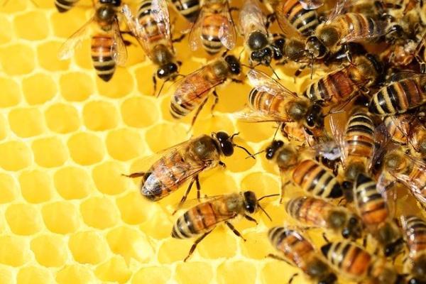 Cómo hacen la miel las abejas