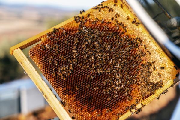 Cómo hacen la miel las abejas - Cómo se saca la miel del panal