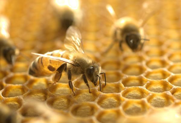 Cómo hacen la miel las abejas - Para qué usan la miel las abejas