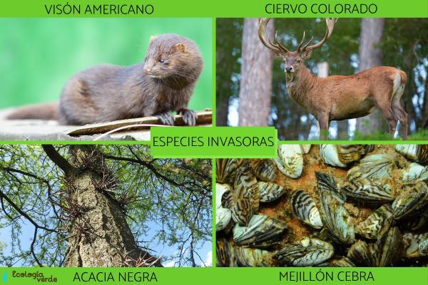Especies invasoras: qué son, ejemplos y consecuencias - Ejemplos de especies invasoras y sus impactos