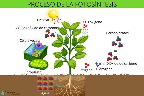 Diferencia entre anabolismo y catabolismo - Ejemplos de anabolismo