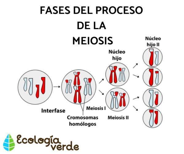 Diferencia Entre Mitosis Y Meiosis Resumen Y Esquemas