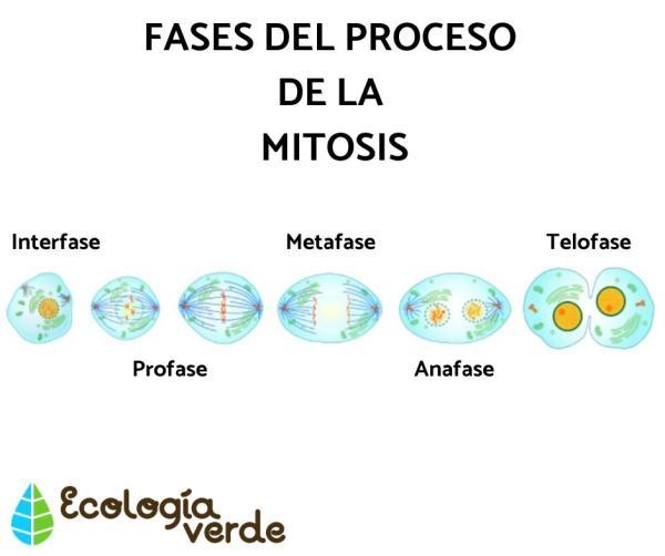 Diferencia entre mitosis y meiosis - Qué es mitosis - definición y fases