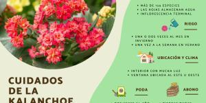 Planta kalanchoe: cuidados y para qué sirve