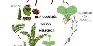 Cómo se reproducen los helechos