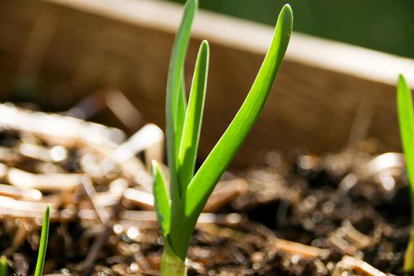 Cómo plantar ajos tiernos