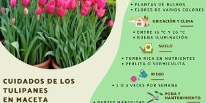 Cómo cuidar tulipanes en maceta