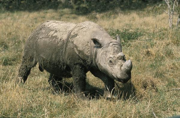 Rinocerontes en peligro de extinción - Rinoceronte de Sumatra