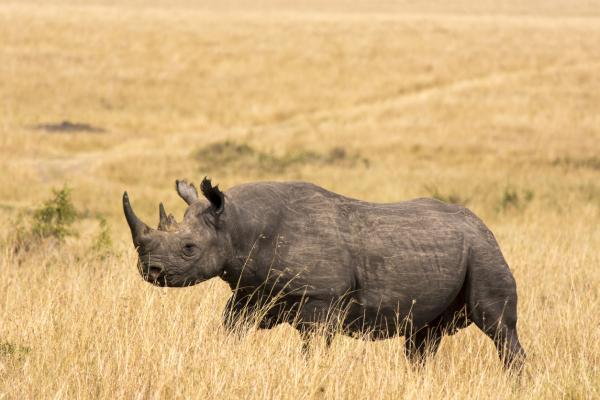 Rinocerontes en peligro de extinción - Rinoceronte negro