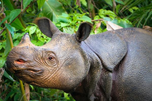 Rinocerontes en peligro de extinción
