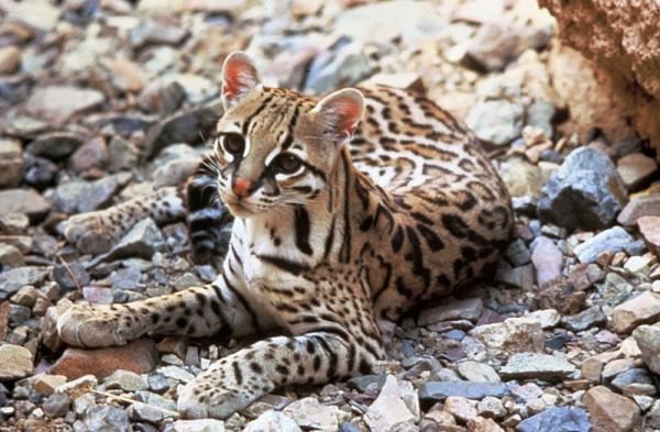 Selva Lacandona: flora y fauna - Selva Lacandona: fauna