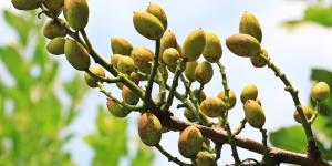 Plantar pistachos: cómo hacerlo