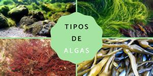 Clasificación de las algas