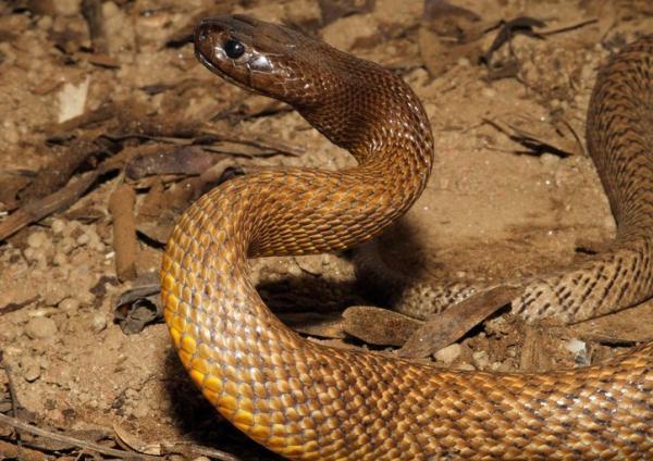 Cuál es la serpiente más venenosa del mundo - Características y efectos del veneno del Taipán del interior
