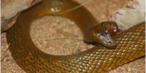 Cuál es la serpiente más venenosa del mundo