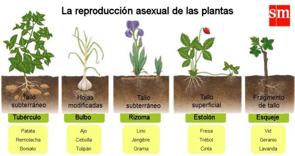 Reproducción asexual de las plantas: qué es, características, tipos y ejemplos