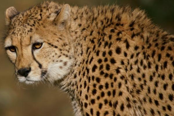 Animales del desierto del Sáhara - Guepardo del Sahara