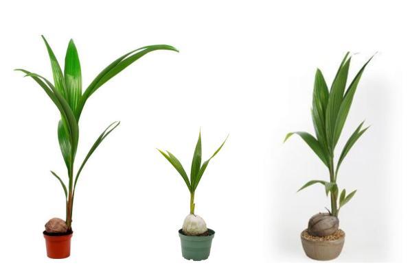 Plantas verdes de interior - Cocotero