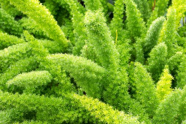 Plantas verdes de interior - Esparraguera