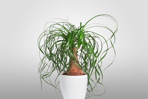 Plantas verdes de interior - Pata de elefante