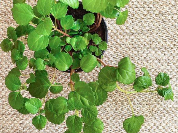 Plantas verdes de interior - Planta del dinero