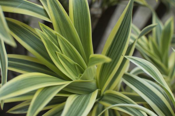 Plantas verdes de interior - Tronco de Brasil