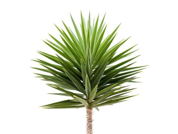 Plantas verdes de interior - Yuca